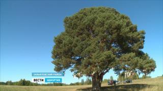 Спасение уникального дерева - природного памятника в Завьяловском районе Удмуртии